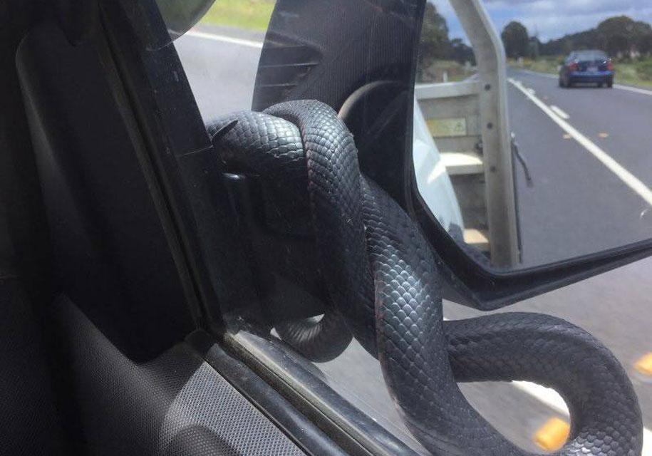 «Сюрприз» из бокового зеркала автомобиля шокировал пассажира 1