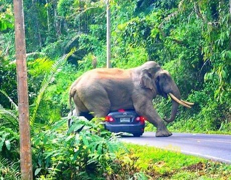 В Таиланде слон прилег отдохнуть на авто с туристами 1