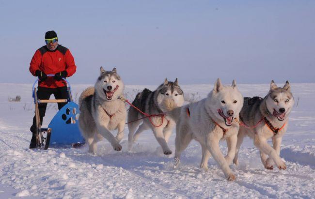 В Дании собачьи упряжки признали официальным видом транспорта 1