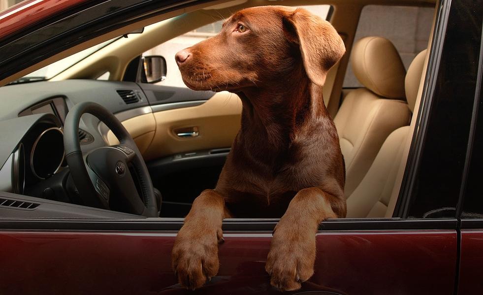 Автомобилистам могут запретить возить животных в салоне авто 2