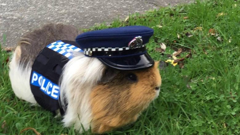 В Новой Зеландии помогать полиции бороться с нарушителями будет морская свинка 1