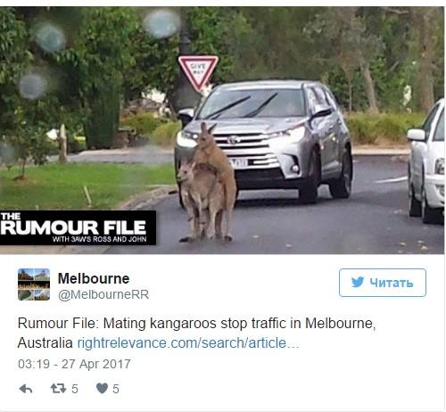 Любвеобильные кенгуру заблокировали дорогу 1