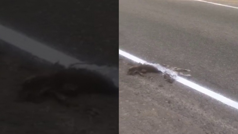 Дорожники нанесли разметку поверх мертвого кота 1