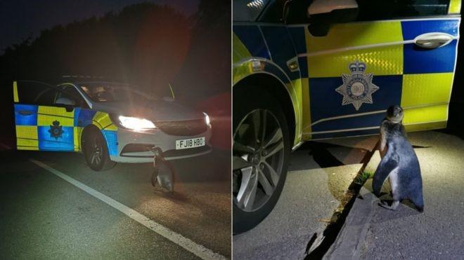 В Англии арестовали пингвина, шедшего по дороге