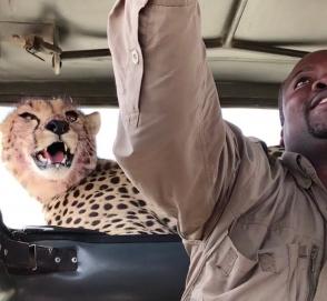 В джип к туристам залез гепард