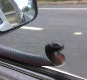 «Сюрприз» из бокового зеркала автомобиля шокировал пассажира