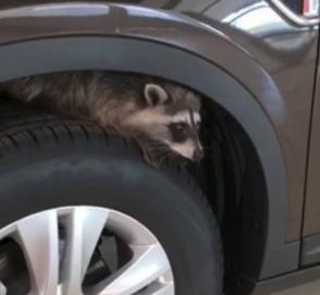 Взять енота в автосалон было не лучшей идеей