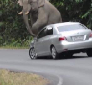 В Таиланде слон использовал автомобиль как табурет