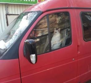 В Украине заметили милую собаку за рулем «Газели»
