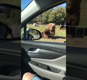 Милота: медведь улыбнулся пассажирке авто и помахал ей лапой