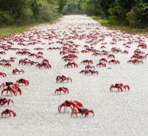 В Австралии закрыли дорогу из-за крабов