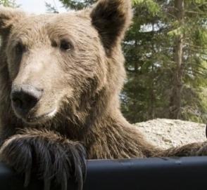 Медведя-автовора сняли на видео