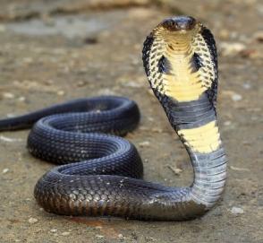 Огромная кобра устроила пробку на дороге