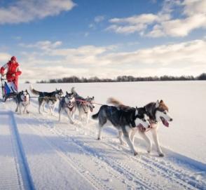 В Дании собачьи упряжки признали официальным видом транспорта